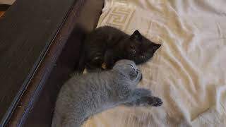 Два шотландских котенка скотиш-страйт. Продаю. Краснодар.