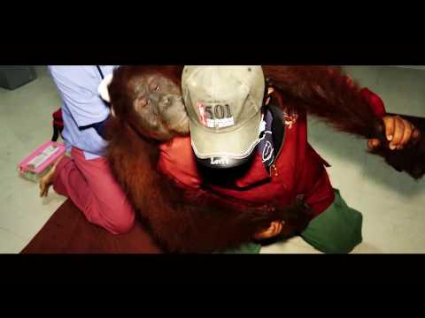 jalan-berliku-translokasi-orangutan-reva