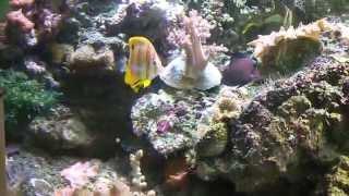 Морской аквариум 400 литров! Рыбки Хелмон, Апогон..