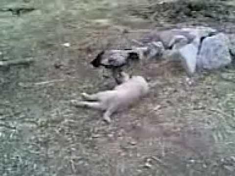 horoz ile köpek kavga