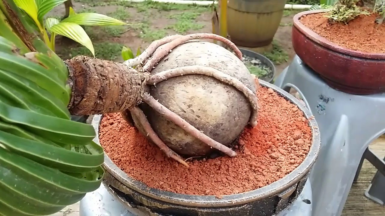 Bonsai Kelapa Hijau Media Air By Jagat Kelana