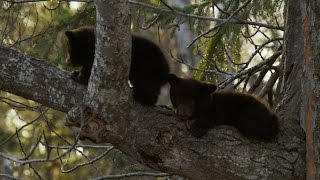 Black bear cub is scared to climb down - Alaska: Earth's Frozen Kingdom: Episode 1 Preview - BBC Two