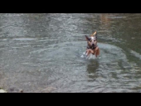 Australian Cattle Dog (Blue Heeler),  learning to swim