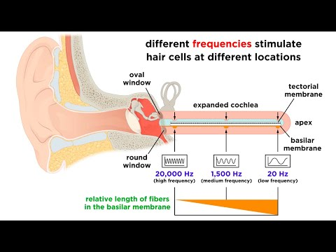Processing Auditory, Somatosensory, Olfactory, And Gustatory Information