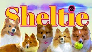 Is a Sheltie (Shetland Sheep Dog) the dog for you?