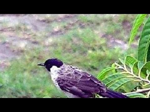 Mikat burung kutilang di kebun seruuuu