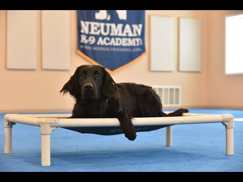 Lucky (Flat Coated Retriever) Boot Camp Dog Training Video Demonstration