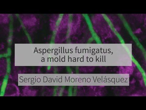 Aspergillus fumigatus, a mold hard to kill