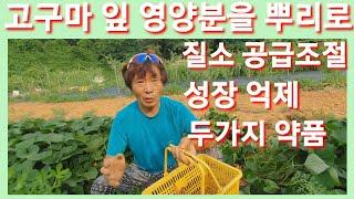 고구마잎 영양분을 뿌리로 가게하고 줄기를 못자라게 식물…
