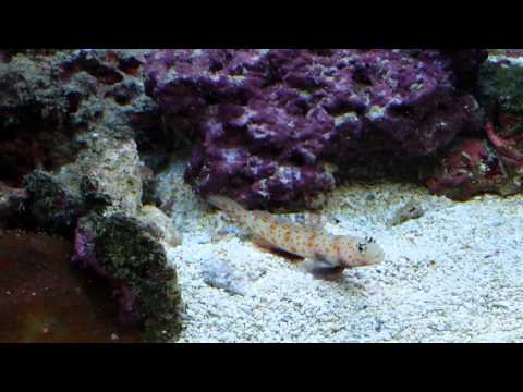 Orange Spot Goby & Tiger Pistol Shrimp 5-2014