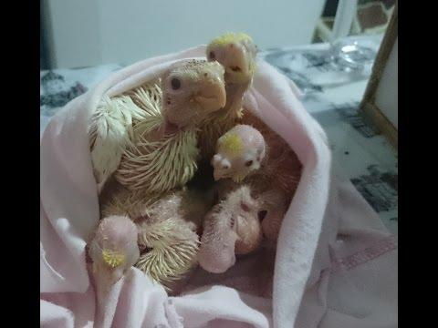 Sultan Papağanı Yavruları İlk 50 Gün - Baby Cockatiels' first 50 days