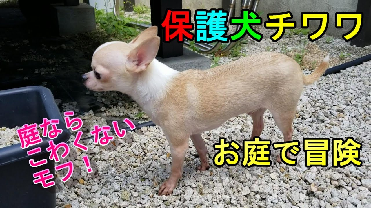 チワワ 保護 犬