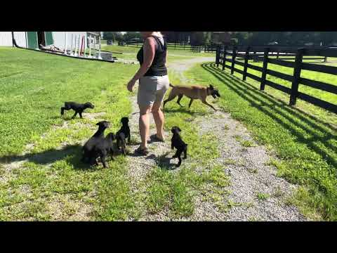 "Doberman Puppies ""G"" Litter 2019 7 Wks Old 1st Day @ Prufenpuden Farms"