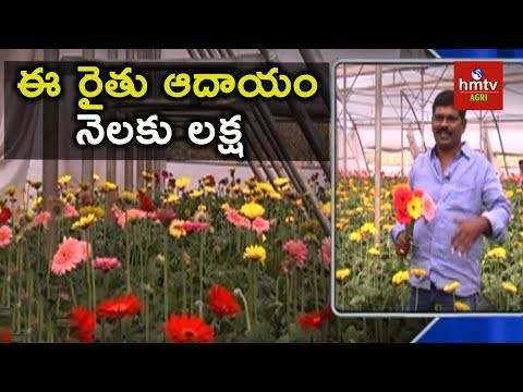 Gerbera Cultivation in Polyhouse | hmtv Agri