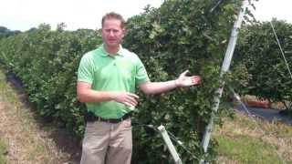 Rhoads Blackberry Trellis System