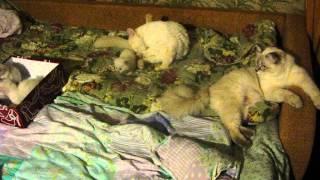 Кошки породы Невская маскарадная.