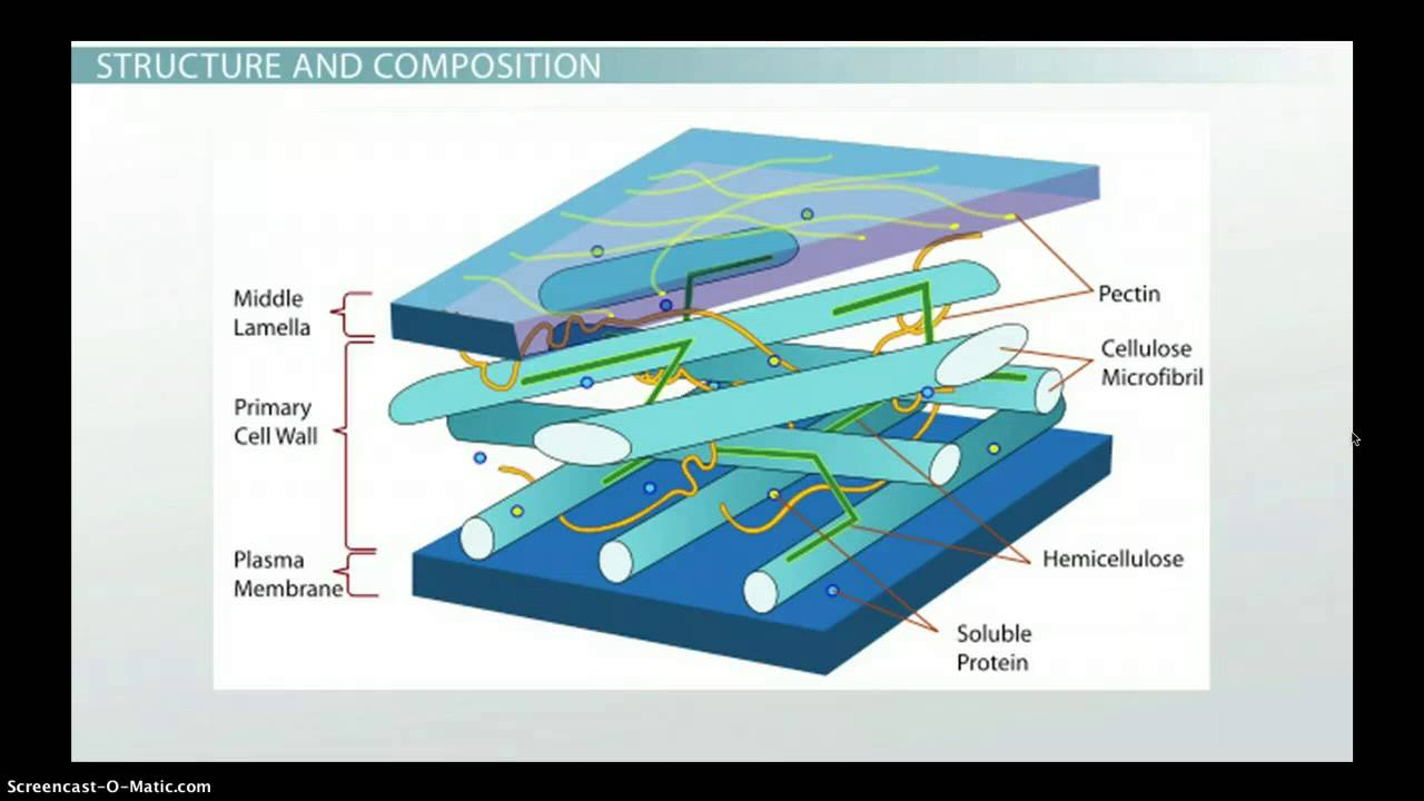 Plant Cell Wall: Function, Structure & Composition  YouTube