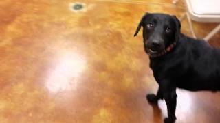 Fenway - Labrador Retriever - At Risk - Needs Foster Or Home