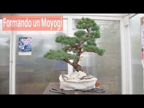 Formando un Moyogi - Bonsai Colmenar
