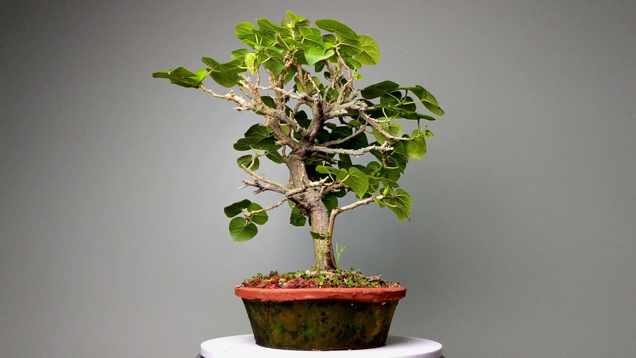 Sea Hibiscus Bonsai Nut