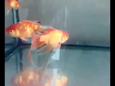 Goldfish Video For Kids