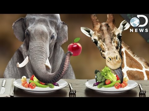Why Are The Biggest Animals on Earth Vegetarian?