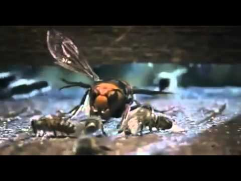 Japanese Giant Hornet Scout Killed By Asian Bees   YouTube