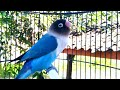 Suara Lovebird Betina Memanggil Jantan Di Lanjut Ngekek  Mp3 - Mp4 Download
