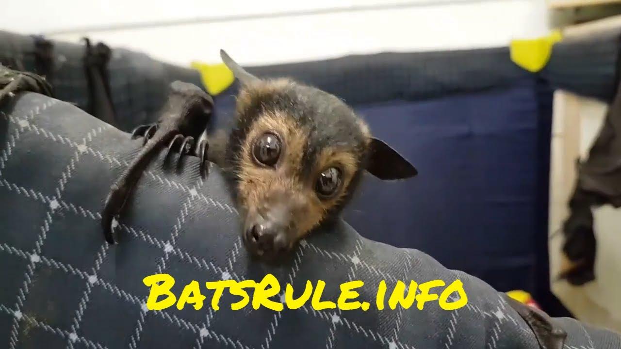 REHAB 2017 Megabat, Flying fox, Fruit bat, Bats N Wildlife - Cover