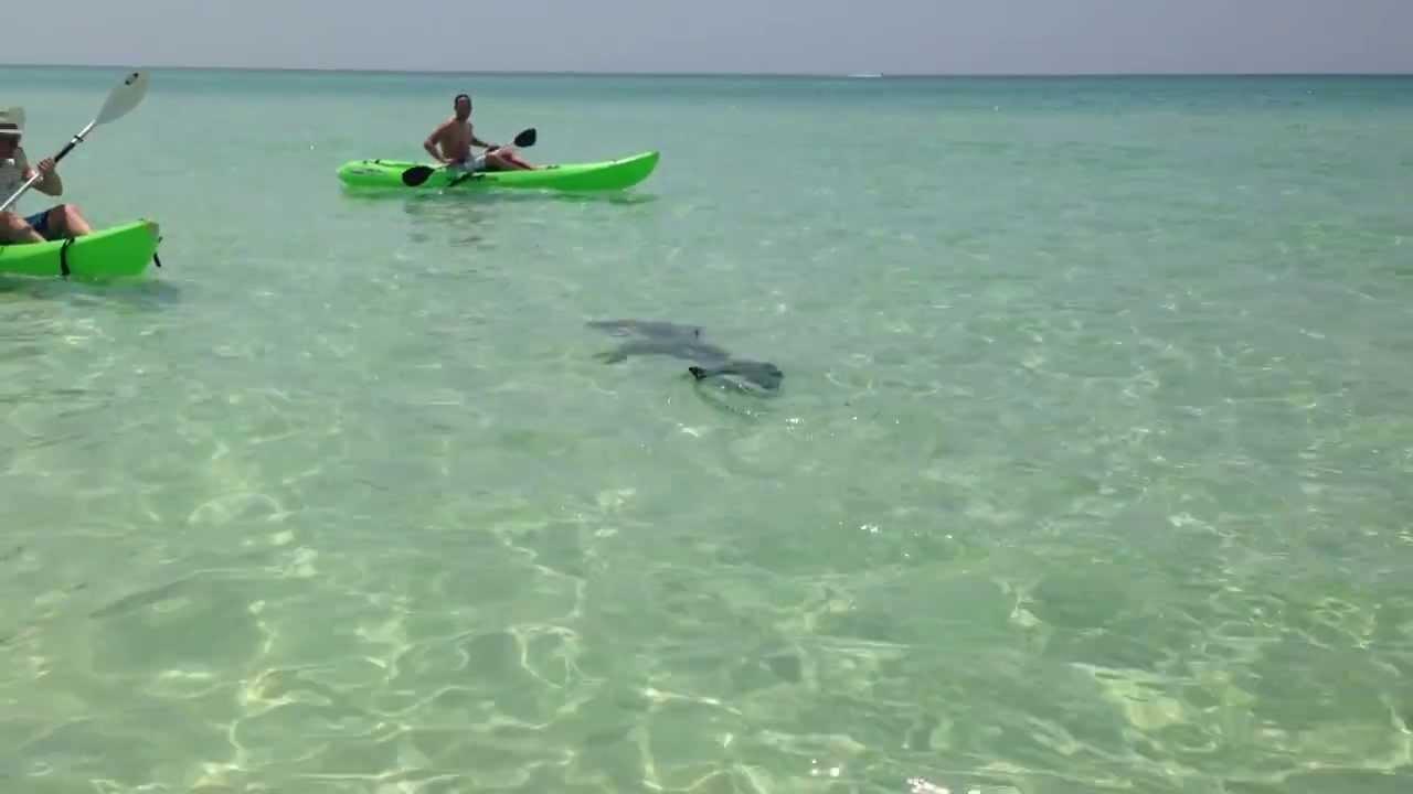 Hammerhead Shark At Miramar Beach In Destin FL 8 5 2013