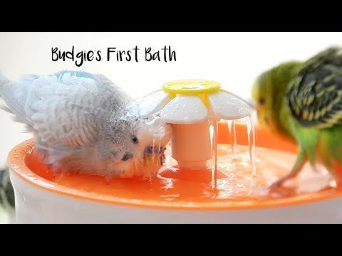 How to give Budgie's First Bath | Budgie Water Training