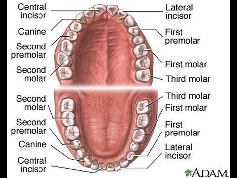 Tooth anatomy تشريح السن - YouTube