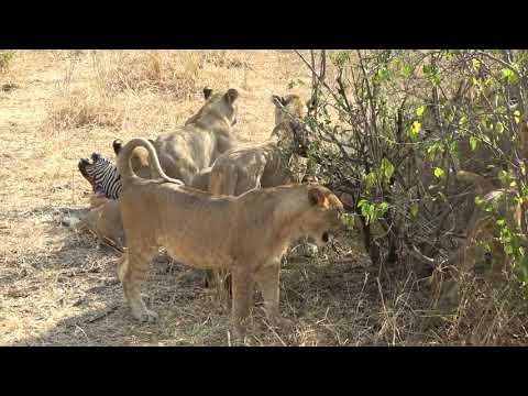 Tanzania Safari Sept 2019 – Tarangiri National Park – Lion hunting zebra