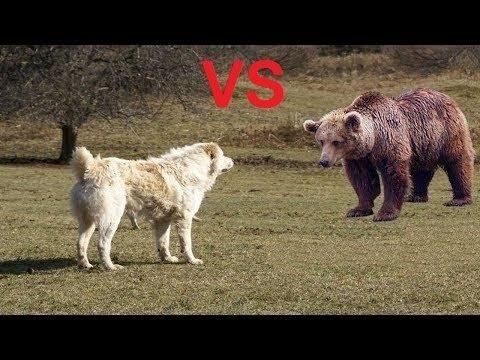 Alabai Vs Bear Test