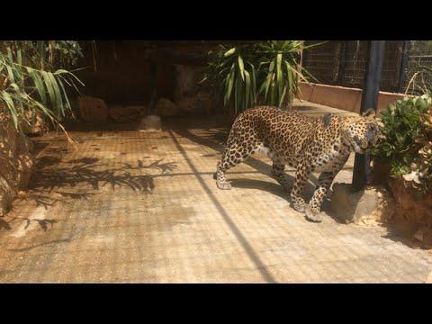 Leopard Self-Healing with natural treatment   -  סמבורו הנמר מהגן הזואולוגי בבאר שבע בטיפול טבעי