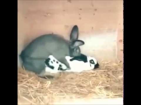 Hakan Yavaş Ciğerimi Söktün (Tavşan)