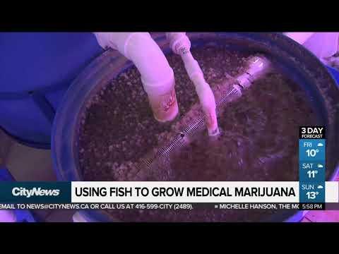 Using Fish To Grow Medical Marijuana