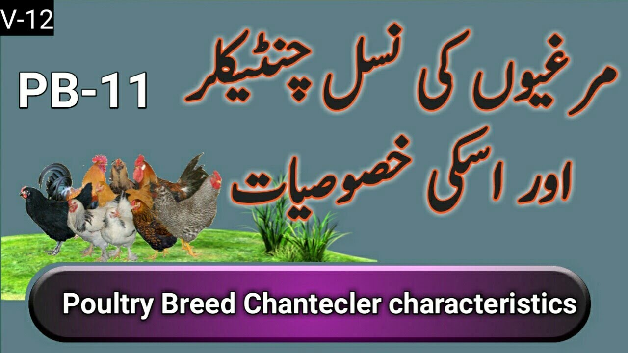 Poultry Breed chantecler characteristics urdu/ hindi - Thủ
