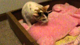 Video pregnant cat birth 1st baby born download MP3, 3GP, MP4, WEBM, AVI, FLV November 2017