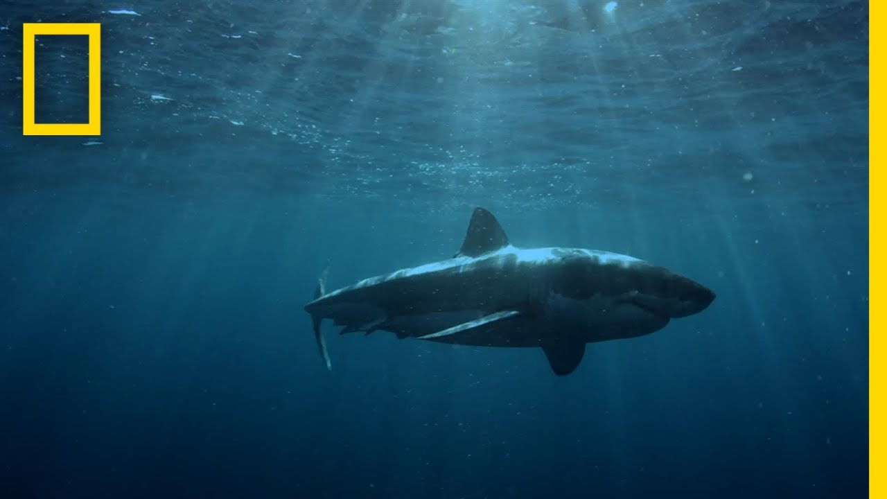 Great White Shark Hunting Patterns | When Sharks Attack