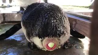 掛川花鳥園のケープペンギン「モコ」が産卵しました! 見ているこっちが...