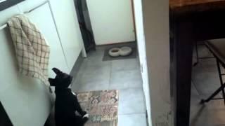 Resta! Addestramento Base Staffordshire Bull Terrier - Staffy Puppy