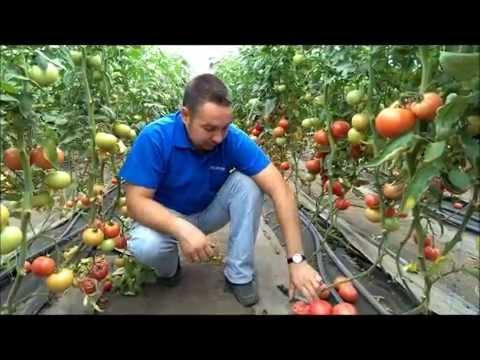 Выращивание томатов. Как вырастить помидоры на даче