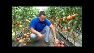 Технология выращивания томатов в теплицах(Данный видеоролик является частью целого цикла видео пособий, рекомендующих, как нужно выращивать томаты..., 2013-09-09T21:10:21.000Z)