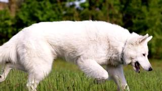 Порода собак. Белая швейцарская овчарка..Очень сильные и выносливые овчарки