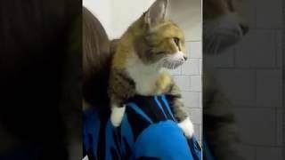 Human-lover cat Mulya, 2 yo, female, spayed, gentel . Ласковая Кошечка Муля ищет ДОМ. СПб.