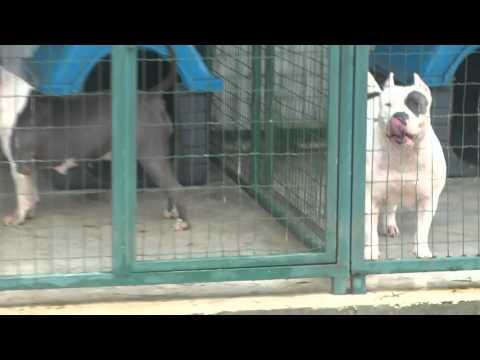 PremiumBully pitbulls XXL  Kennels Brazil