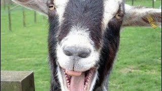 Funny Goats Screaming Compilation