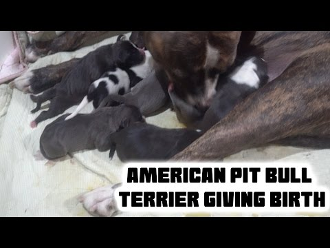 Our Dog Giving Birth!! - American Pit Bully Puppies