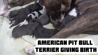 Our Dog Giving Birth!!  American Pit Bully Puppies